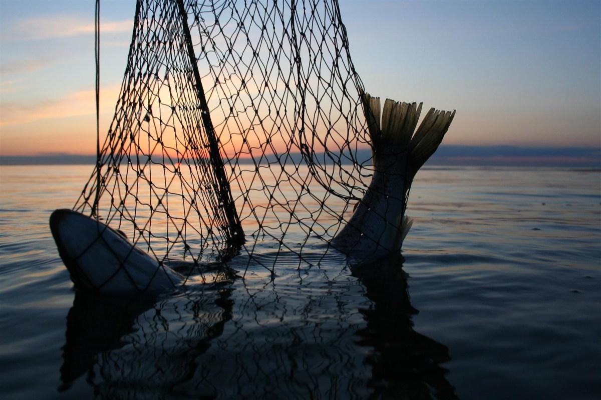 Meerforelle auf Fünen im Kescher