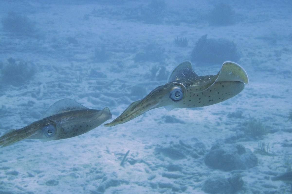 Tintenfische unter Wasser