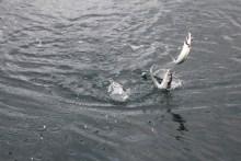 Makrelen am Makrelen-Paternoster