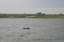 Schweinswale im kleinen Belt vor Gl. Ålbo
