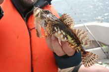 Seeskorpion auf Fischfetzen aus dem Kleinen Belt