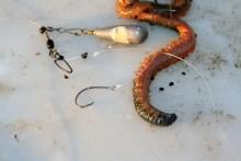 Aalangeln in Dänemark mit Seeringelwurm als Köder