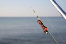 Köder zum Brandungsangeln: Seeringelwürmer am Haken