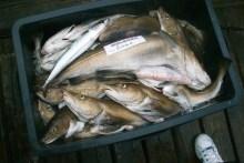 Dorschfang vom Gelben Riff
