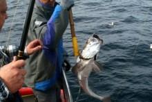 Seehecht angeln auf dem Gelben Riff