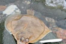 Kliesche auf GULP!-Seeringelwurm