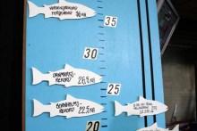 Rekordlachse und ihre Größen