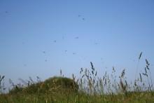 Tanzende Maifliegen an der Arnau in Süd-Dänemark
