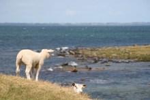 Schafe bei Ordrup Næs auf Seeland